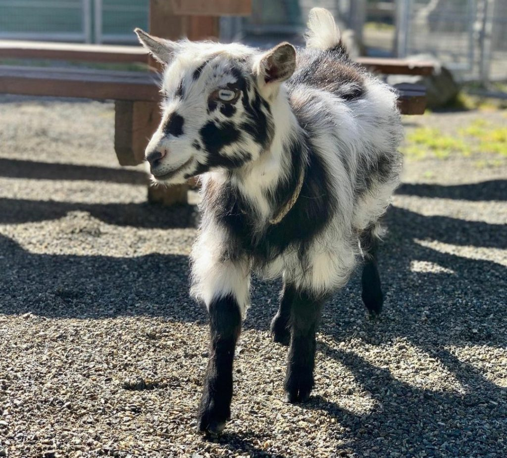A black and white baby goat walks around a big and open pen.
