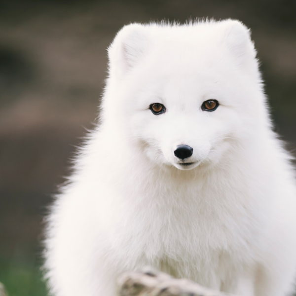 An Arctic fox stands outside