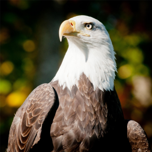 Bald eagle looking magestic.