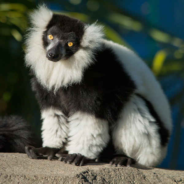 Black and white lemur stands on a rock.