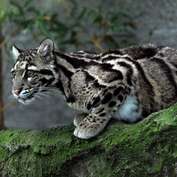 A clouded leopard sits on the edge of a ridge.