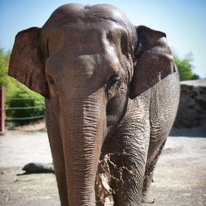 Asian elephant walks through their habitat at Point Defiance Zoo.