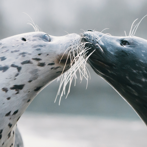 Two harbor seals nuzzle each other.