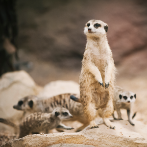 A mob of meerkats move around each other.