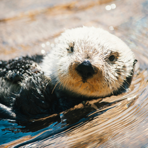 An adorable sea otter floats on its back in water.