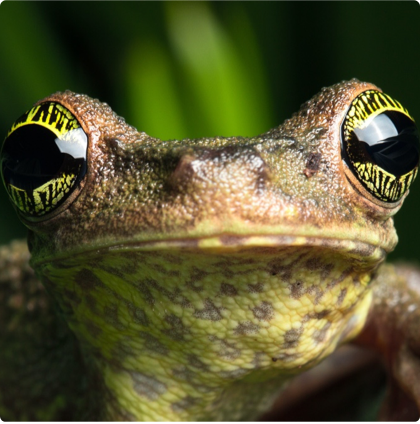 Closeup of the face of a tree frog.