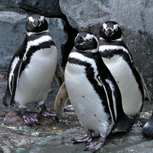 A group of magellanic penguins waddle around.