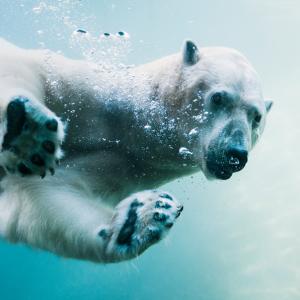 A polar bear swims through water.
