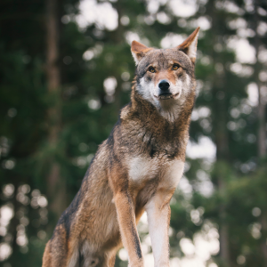 Red Wolf stands outside with a skyline full of trees behind him.