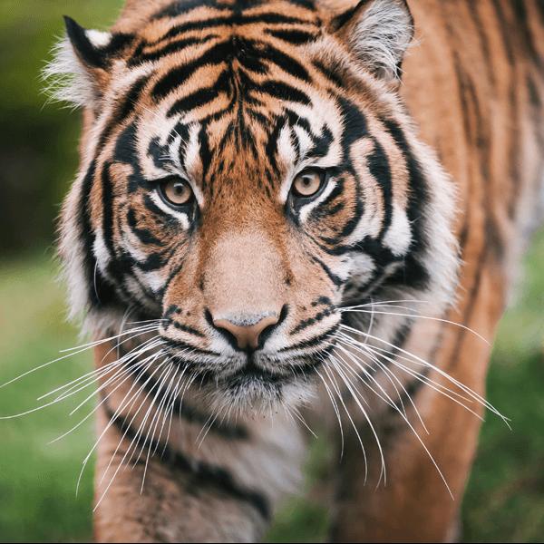 A Sumatran tiger walks through grass.