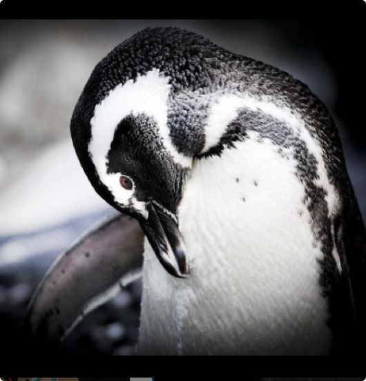 A penguin cleans the fur on its chest.