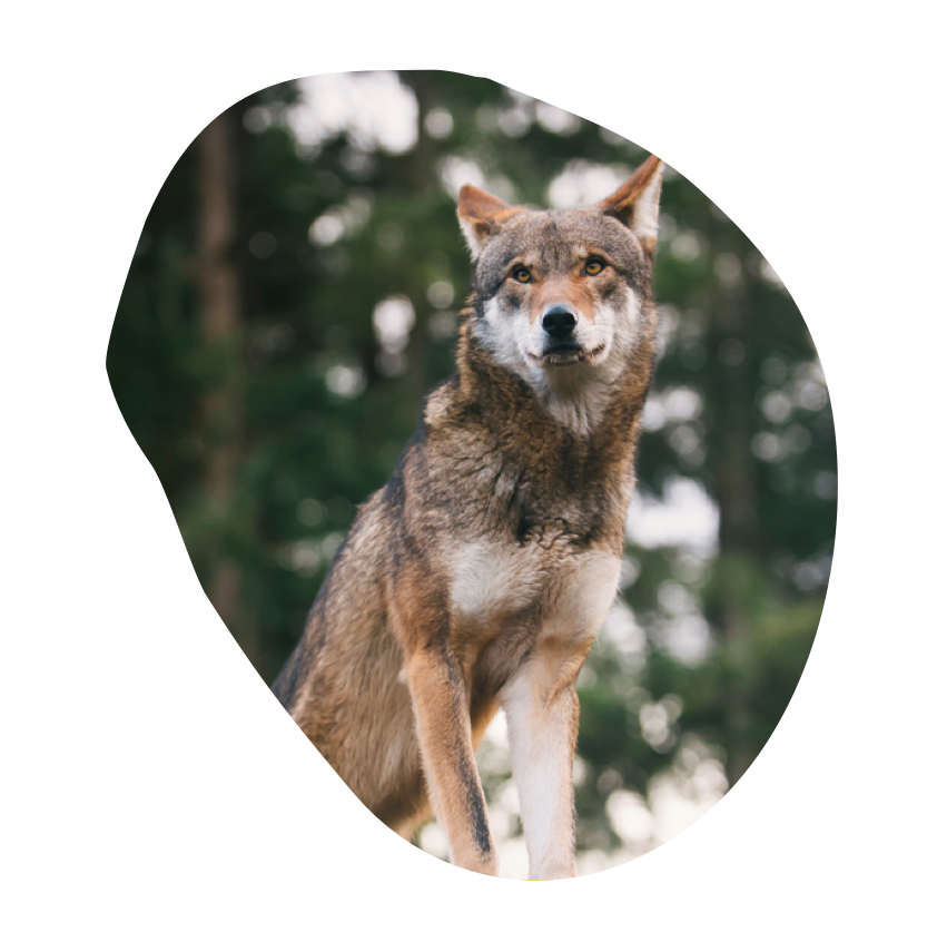 A red wolf stands in a forest backdrop.