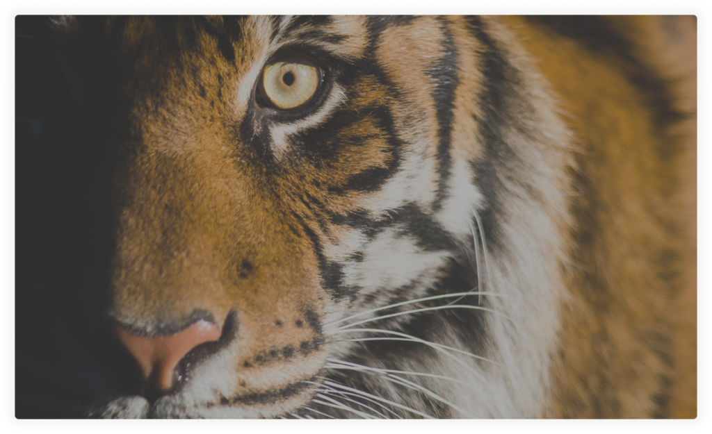 A tiger stands with eyes wide open and face partially shrouded in shadow.