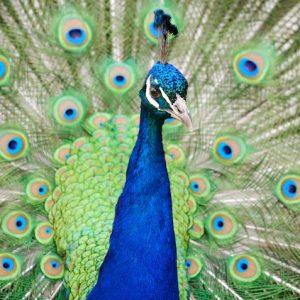 A beautiful peacock stands with its train open.