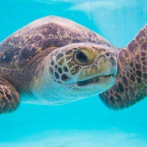 A Green Sea Turtle swims through beautiful water.
