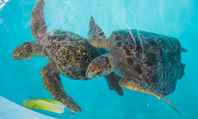 A pair of tortoises swim in beautiful blue water.