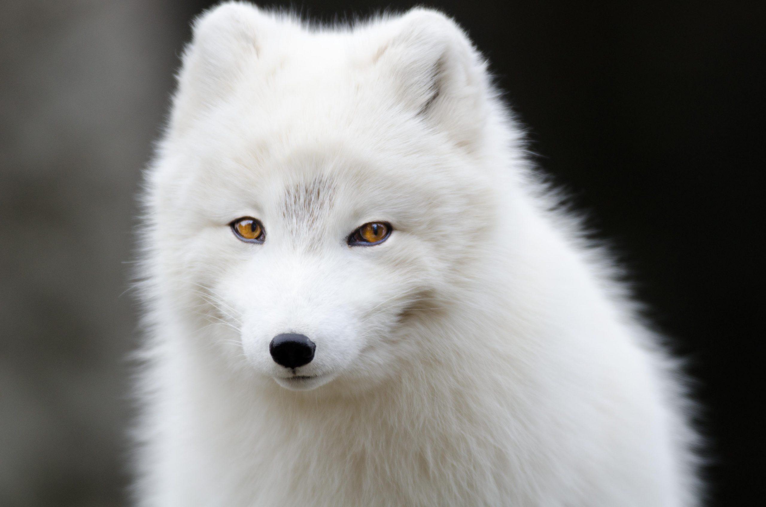 A beautiful white arctic fox.
