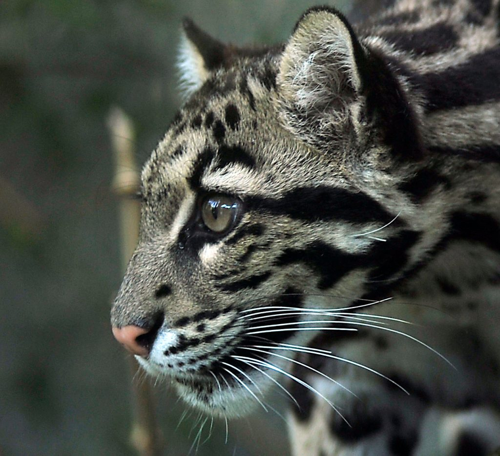 A beautiful clouded leopard looks to the side.