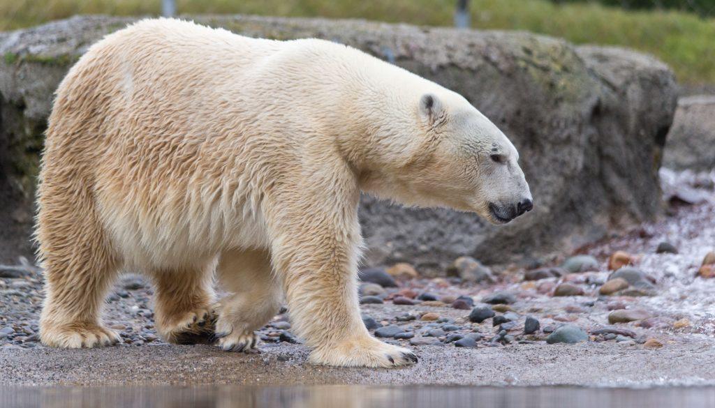 A polar bear walks through a rocky area.