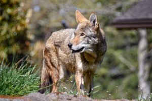 A red wolf looks to the left while standing in a grassy area.