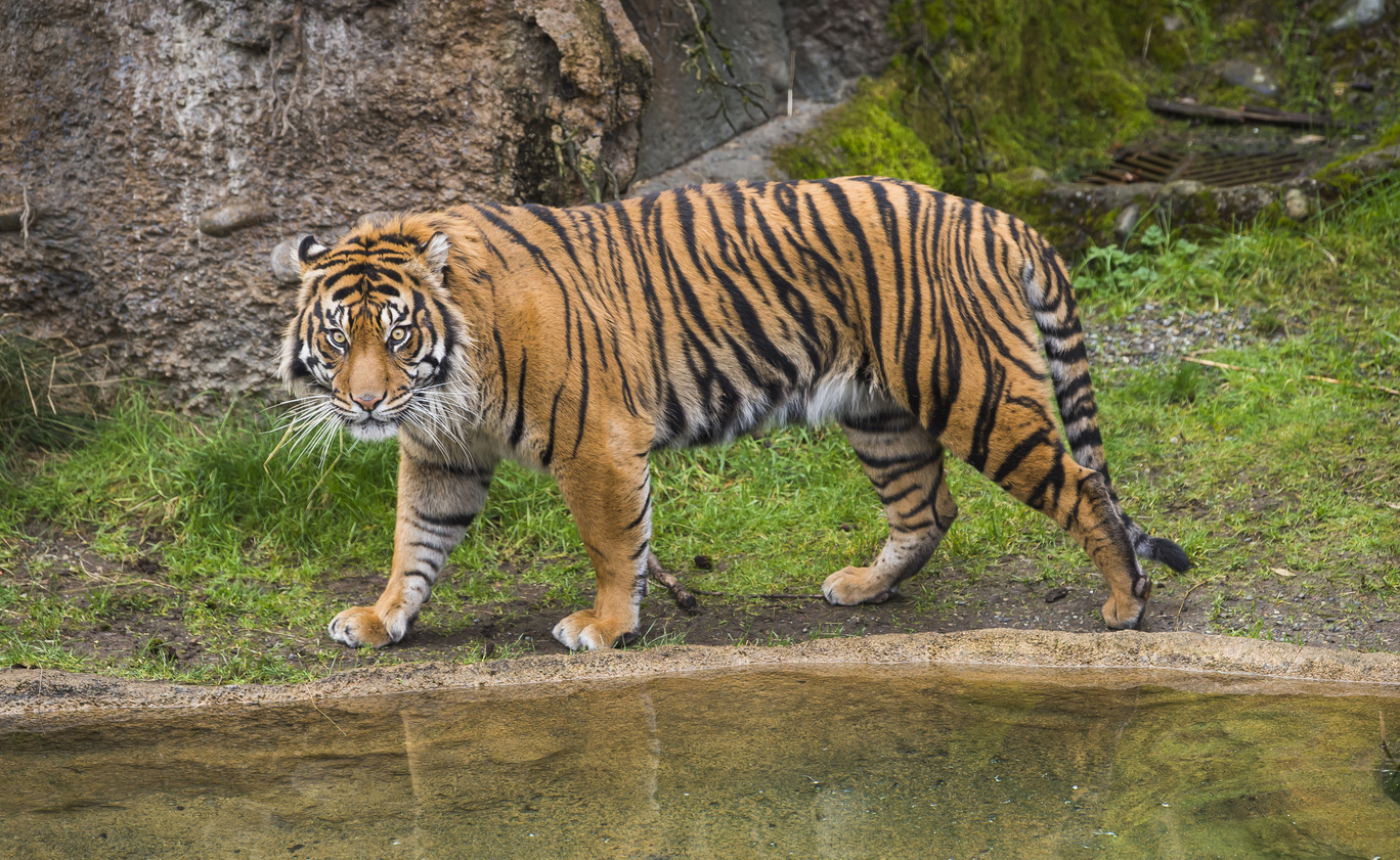 A majestic Sumatran Tiger creeps through a grassy area near water.