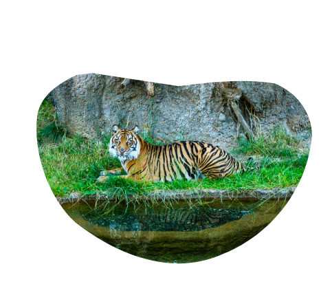 A majestic looking tiger lays in some long grass in front of a rock formation.
