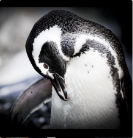 A cute black and white penguin