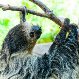 A cute sloth hangs from a tree branch.
